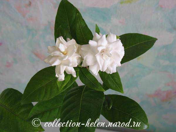 Зеленый Эдем  декоративные цветы питомник декоративных