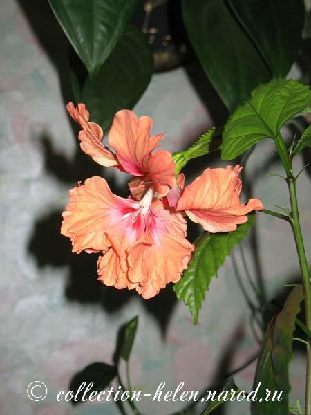 Садовый гибискус  посадка и размножение фото гибискуса