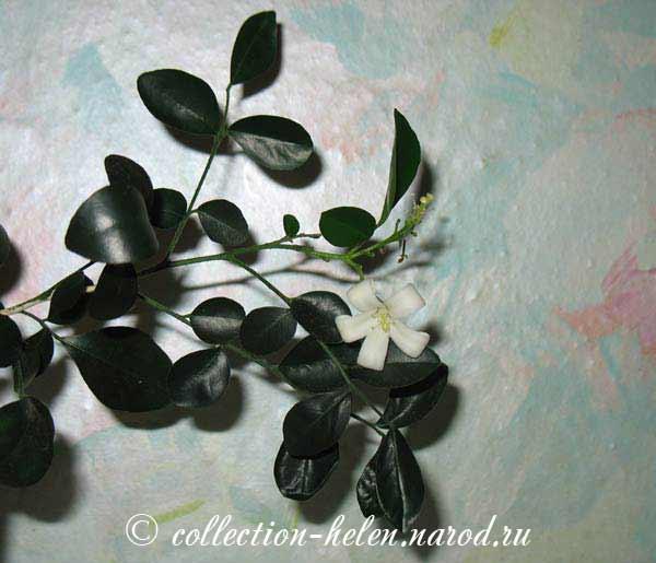 Цветок мурайя фото цветоводы россии