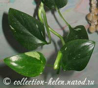 "Филодендрон Кобра (Philodendron guttiferum ""Cobra"")"