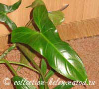 Philodendron Peaknok