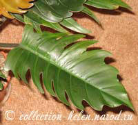 Philodendron TN (Pin Amphan)
