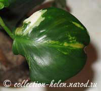 Philodendron White Wizard