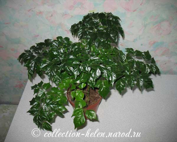 Хлорофитум  Chlorophytum фото условия выращивания уход